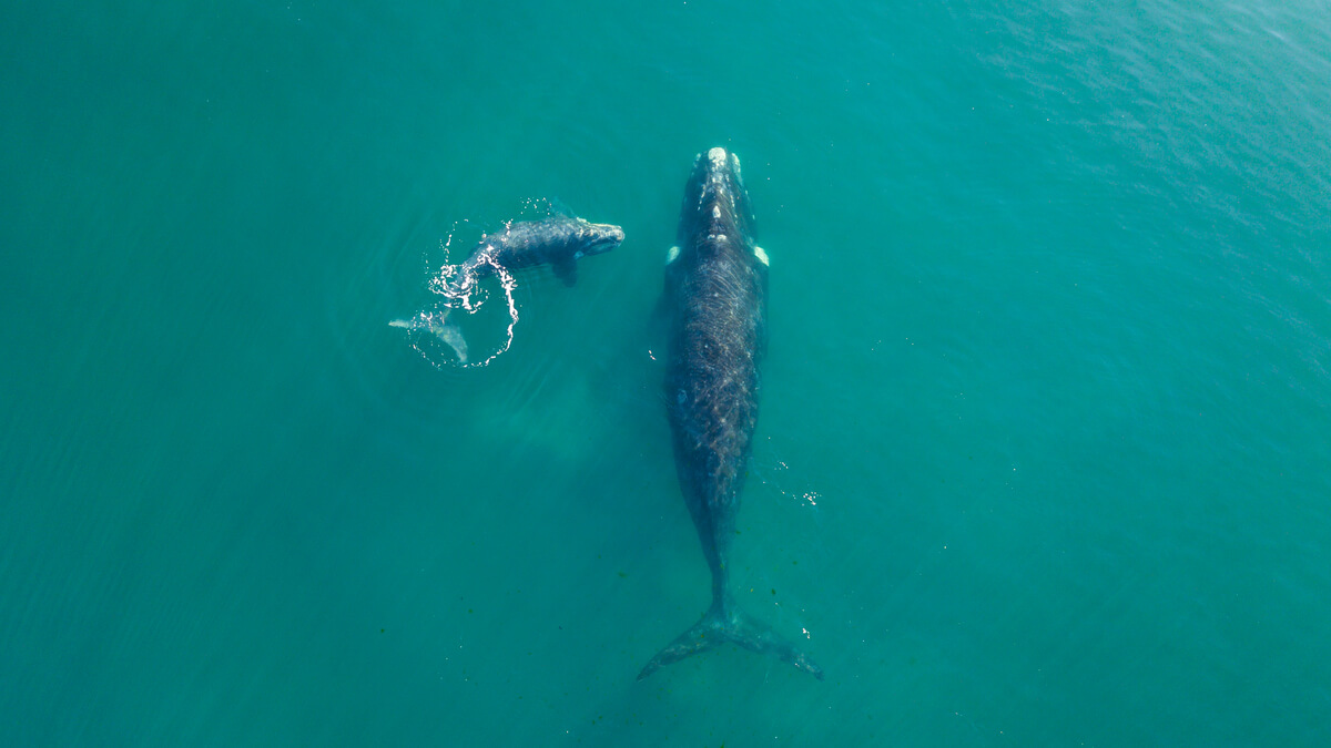 right whales population